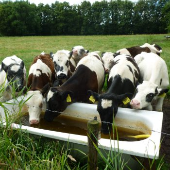 koeien bij de Broeksehoeve